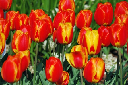 softly: Flowerbed of softly colored red-yellow tulips