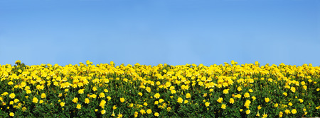 garden marigold: Yellow marigolds with a clear blue sky. May be used as a border. Stock Photo