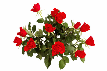 dozen: Dozen of scarlet roses isolated on white Stock Photo
