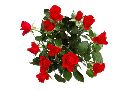 roseleaf: Dozen of scarlet roses isolated on white Stock Photo