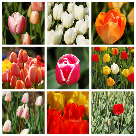 marvellous: Spring mood. Set of 9 pictures of wonderful multicolored tulips
