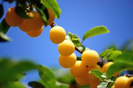 Branch of a cherry plum with bunch of ripe yellow fruit against blue sky Stock Photo