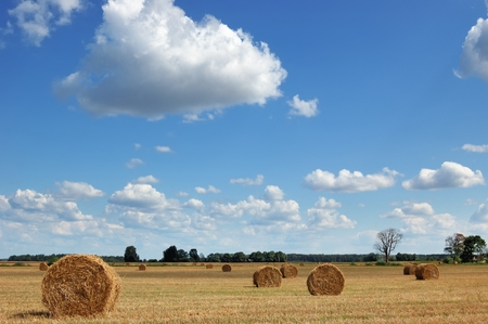 Golden field with round hay bales and dead tree against a picturesque cloudy sky on a perfect sunny day