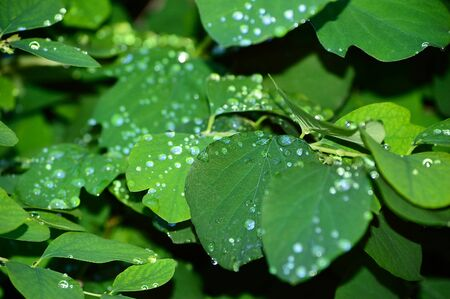 Close-up of raindrops on green leaves and twigs of a bush. Shallow focus depth on drops