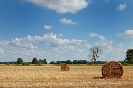 Golden field with round hay bales and dead tree
