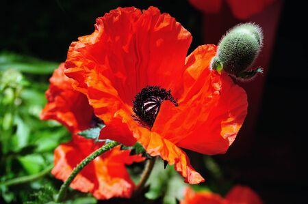 Close-up of wild red poppies on bright sunny day