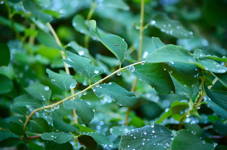 Close-up of raindrops on green leaves and twigs of a bush. Shallow focus depth on drops.