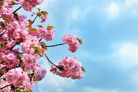 cherry tree: Flowering Japanese cherry tree branches against a clear blue sky
