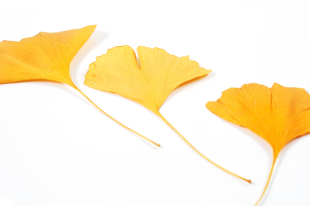 Three ginkgo dried leaves isolated on white. Natural background.