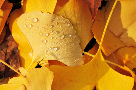 Yellow ginkgo leaves after rain in the evening light