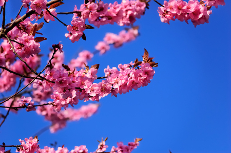 Flowering branch of black plum against a clear blue sky Stock Photo