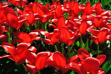 Close-up view of a flowerbed of scarlet tulips in the warm evening sunlight