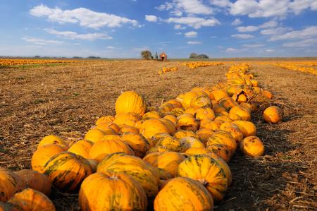 Pumpkin patch. Field full of pumkins ready to harvest.