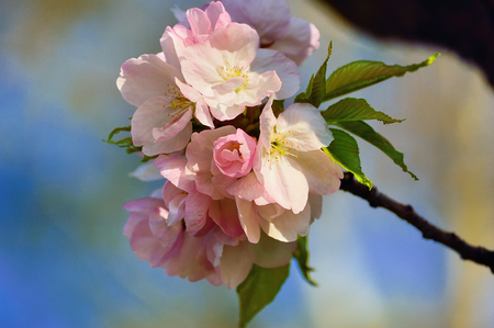 Blooming cherry tree branch on a blurred background