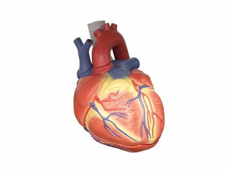 Anatomic model of the human heart isolated on white Stock Photo