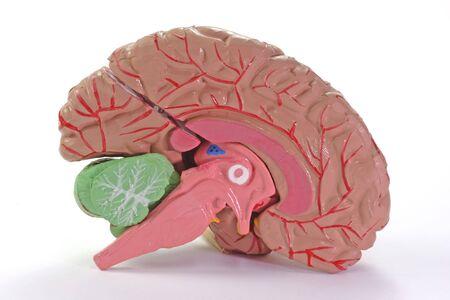 Human Brain Anatomie on bright background