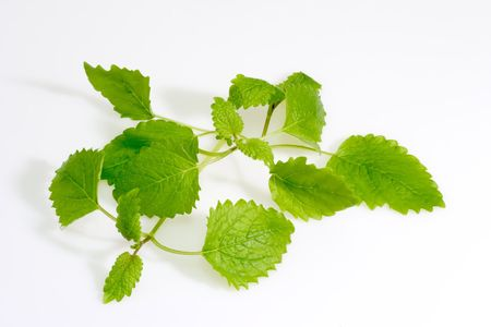 lemon balm: Green lemon balm leaves on light background