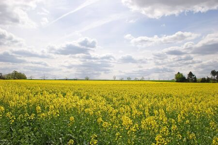 oilseed: Blooming canola field with trees in the background Stock Photo