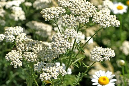 Blooming common yarrow - shot in a botanical garden