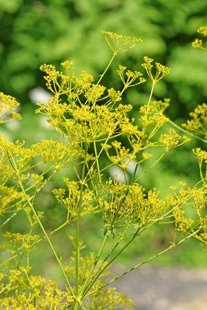 finocchio: Fioritura finocchio - girato in un giardino botanico
