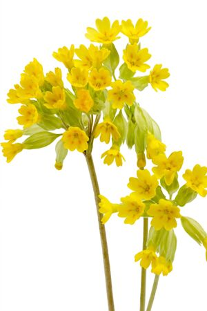 Close-up of cowslips - isolated on white background