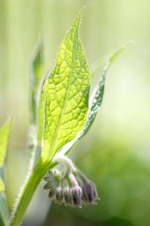 Close-up of a comfrey