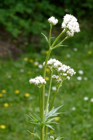 Close up of a valerian plant - shot in a garden Stock Photo