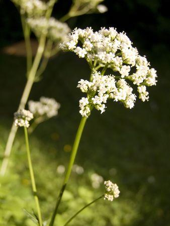 Close up of a valerian - shot in a garden Stock Photo