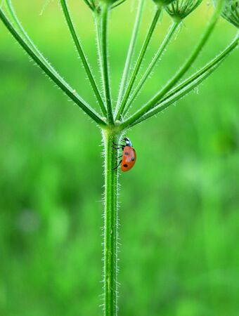 deatil: Deatil from a walking Ladybug on green background