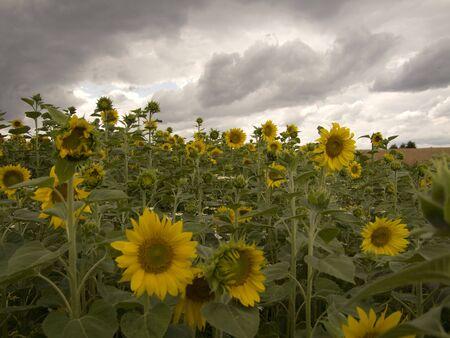 giant sunflower: Sunflower - grown on a field