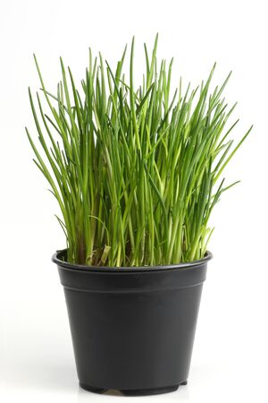 chive: Fresh chive on bright background Stock Photo