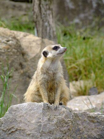 herpestidae: Meerkat Watching Scientific Classification: Suricata Suricatta