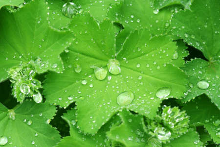 Water drops on the leafs of a Lady's mantle Stock Photo - 4921310
