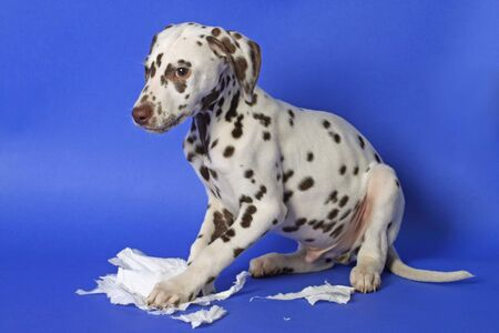Dalmation puppy on blue background. Shot in studio. Stock Photo - 6290371