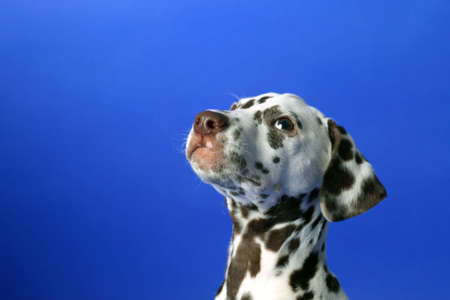 Dalmation puppy on blue background. Shot in studio. Stock Photo - 6369752
