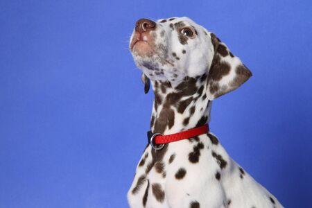 dalmation: Dalmation puppy on blue background. Shot in studio.