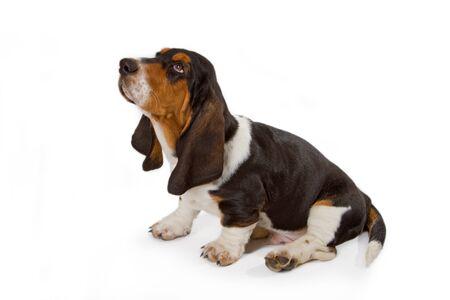 Carino basset cucciolo su sfondo bianco - girato in studio.