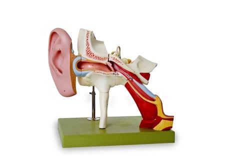 tympanic: Modelo del canal auditivo - aislados en blanco backgriound