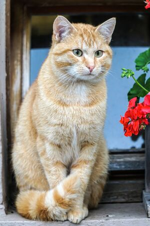 Beautiful orange tomcat outdoor on a farm in germany Stockfoto