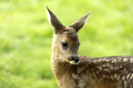Portrait from Beautiful Deer Fawn standing on meadow with flowers in springtime.