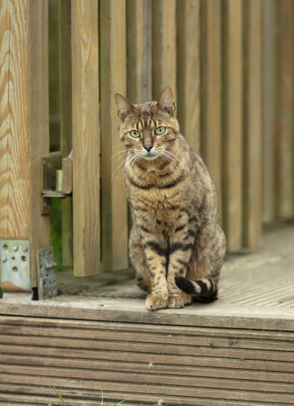 Brown mackerel cat sitting on wooden terace Stock Photo