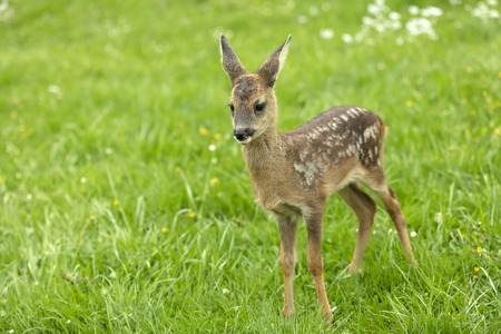 Beautiful Deer Fawn standing on meadow with flowers in springtime. Stock Photo