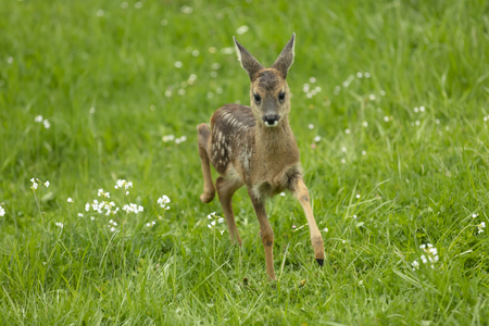 Beautiful Deer Fawn running on meadow with flowers in springtime. Stock Photo