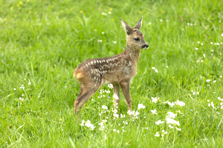 Beautiful Deer Fawn standing on meadow with flowers in springtime. Фото со стока