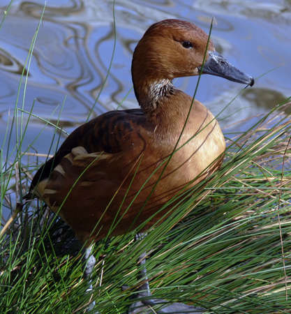 Fulvous Whistling Duck by the water