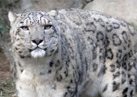 staring snow leopard Stock Photo