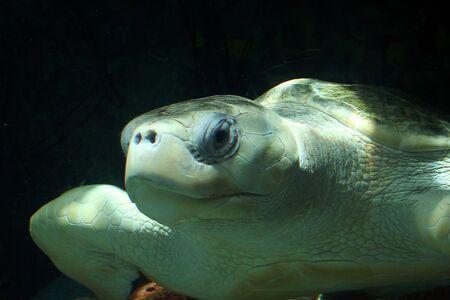 올리브 Ridley 바다 거북이의 폐쇄 수중 Lepidochelys olivacea