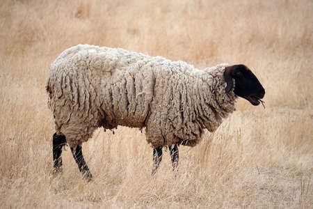 Black Headed Sheep Standing in Brown Grasses