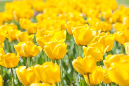 Yellow tulips in the garden.