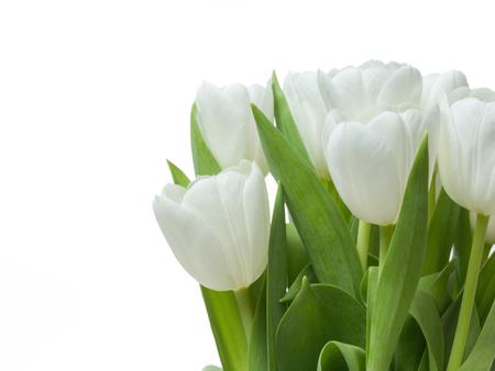 Tulips isolated on white background. Studio shot.